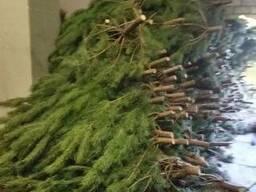 Новогодние сосны(елки) оптом и в розницу
