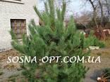 Новогодняя Сосна Оптом - фото 4