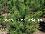 Новогодняя Сосна Оптом - фото 3