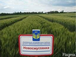 Новосмуглянка сильна пшениця з високою посухостійкістю