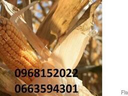 Новый (МАИС Черкассы) гибрид кукурузы