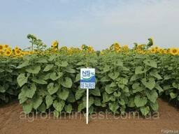 НС Таурус гибрид подсолнечника под евролайтнинг урожай 2018