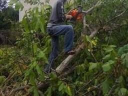 Обрезка деревьев Киев