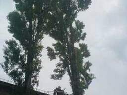 Обрезка деревьев. Обрезать дерево Киев цена.