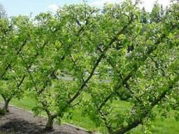Обрезка плодовых декоративных деревьев Васильковский район