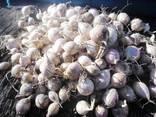 Однозубка чеснока сорт Софиевский на посадку - фото 2