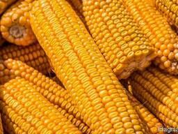Куплю Кукурузу Луцк Украина