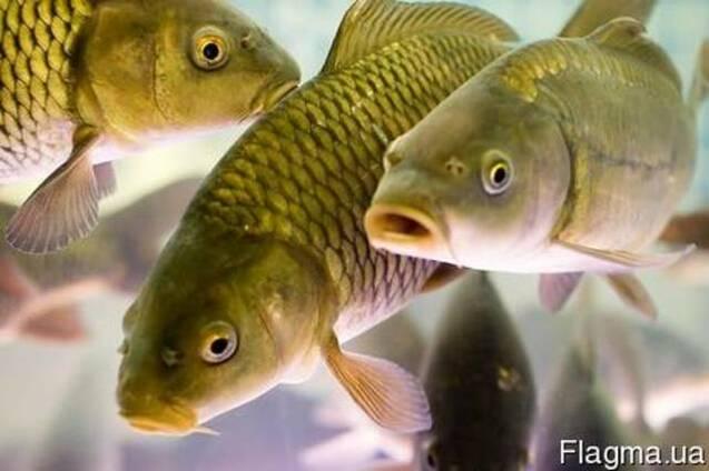 Оптовая продажа рыбы (карп, толстолоб, судак)