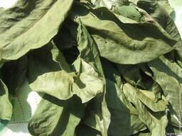 Орех грецкий листья