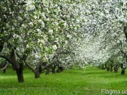 Оренда яблуневого саду
