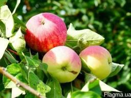 Саженцы яблони «Мельба»