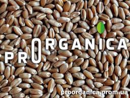 Органічна Пшениця 2 класу, біг-бег 1т, сертифікована Органік Стандарт UA-BIO-108