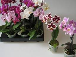 Орхидея Phalaenopsis мини 6*15 1 ствол микс (Фаленопсис)