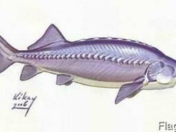 Осетровые рыбы:Белужий Бестер, 5-10 грамм, товарный 3- 6 к