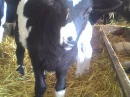 Овцы породы Романовская Дорпер