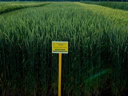 Озима пшениця Берегиня Миронівська 1 репродукція