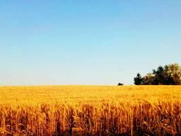 """Озима пшениця """"Лісова пісня"""" (1 репродукція)"""
