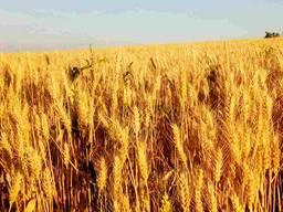 Озима пшениця Шестопалівка