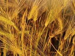 Озима пшениця Сталева