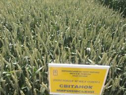 Озима пшениця Світанок Миронівський