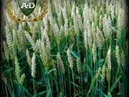 Озимая пшеница Дарунок Поділля