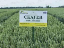 Озимая пшеница Скаген -1р (елита)