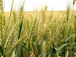 Озимая пшеница сорт Богиня, 1 репродукция.