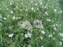 Озимый горох сорт «НС Мороз» - зерновой ультраранний урожайн