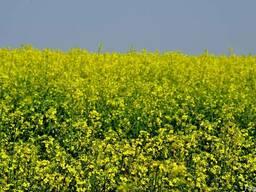 Озимый рапс семена