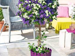 Паслен Рантоннети фиолетовый, белый.