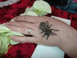 Павук Lasiodora parahybana.