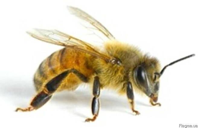 Пчело матка Карпатянка 2018 года плодная