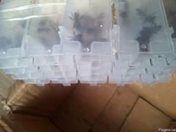 Пчело матка Карпатянка 2017 года плодная