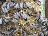 Пчеломатки Матка Карніка, Карпатка 2020 Пчелинная Матка - фото 8