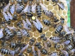 Пчеломатка Матки Карпатка 2019 года Пчелинная Матка - фото 8