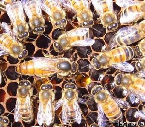 Пчеломатка, Продам пчеломаток, маток итальянской породы