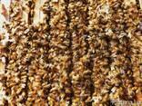 Пчеломатка, Продам пчеломаток, маток итальянской породы - фото 2