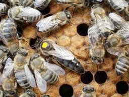 Пчеломатки Бджоломатки Карпатка 2020 Плідні Бджолині Матки