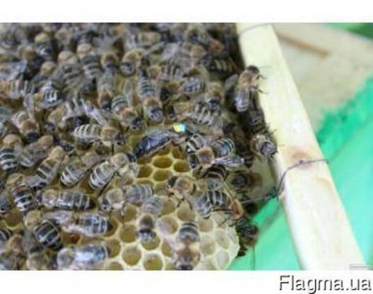 Пчеломатки, бджоломатки. Матка карпатка.