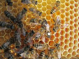 Пчеломатки Карники и Карпатки