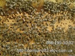 Пчёлы. Пчелопакеты и плодные матки карпатской пчелы. Вся Укр.