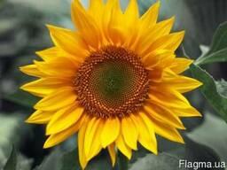 Пелюстка соняшника