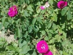 Пелюстки троянди сушені Лепестки розьі сухие