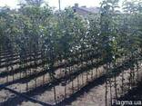 Персик маньчжурський.Сорта персика PF24-007.PF-23.PF-5B.ид - фото 3