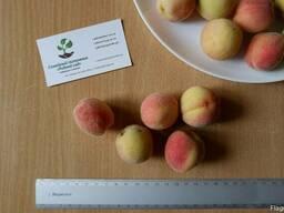 Персик поздний (сентябрь) семена (10 штук) насіння, косточка