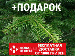 Пихта белая европейская семена (50 шт) (Пихта. ..