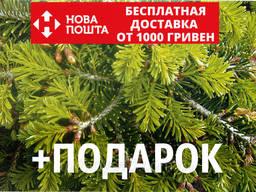 Пихта Нордмана семена (50 шт) (пихта кавказская, Ábies. ..