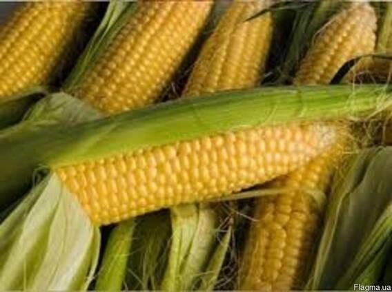Пивиха кукуруза посевная