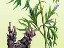 Півонія незвичайна(мар'їн корінь)