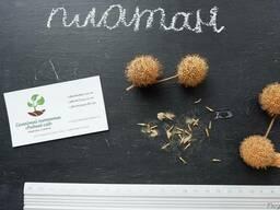 Платан клёнолистный семена(10шт) для саженцев, чинар насіння